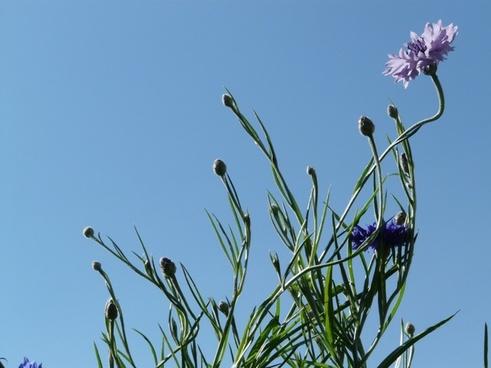 cornflower blue pink