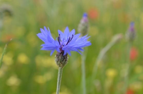 cornflower flower meadow