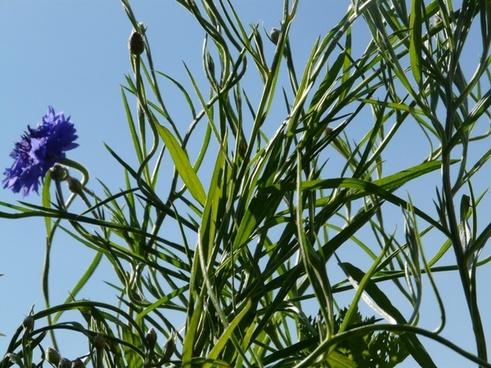 cornflower leaves stalk