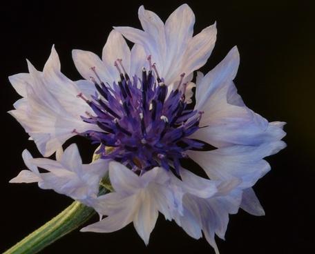 cornflower light blue white