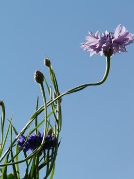 cornflower stalk blue