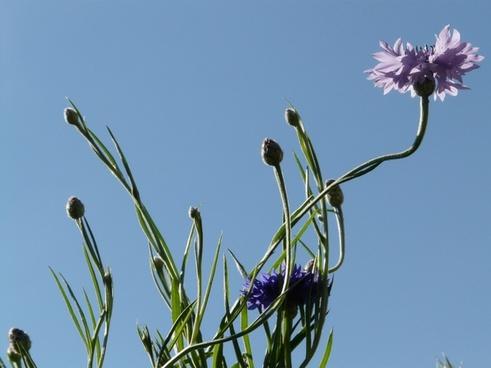 cornflower stalk pink