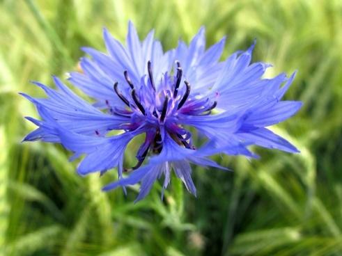 cornflower summer blue