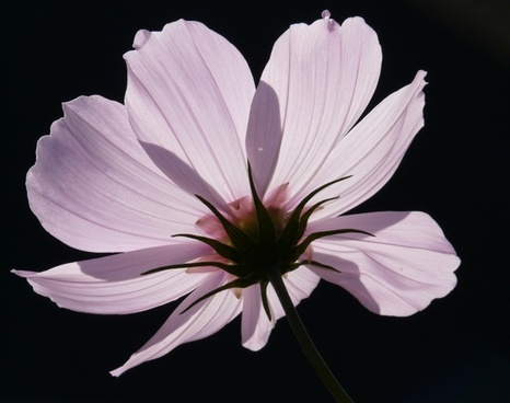 cosmea flower light pink