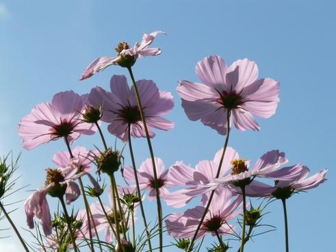 cosmos cosmea flower