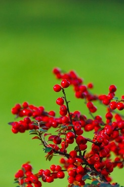 cotoneaster on green