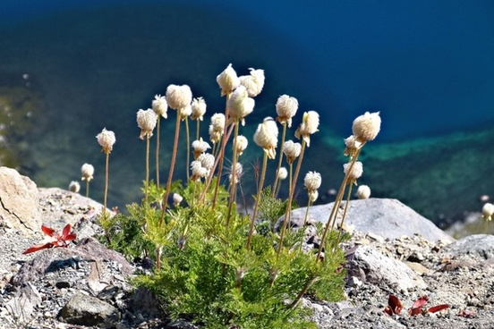 cotton wildflowers blue