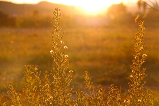country countryside dawn field flower gold golden