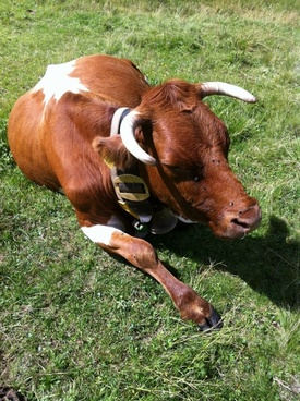 cow animal cows