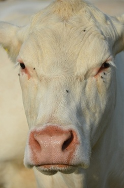 cow animal view