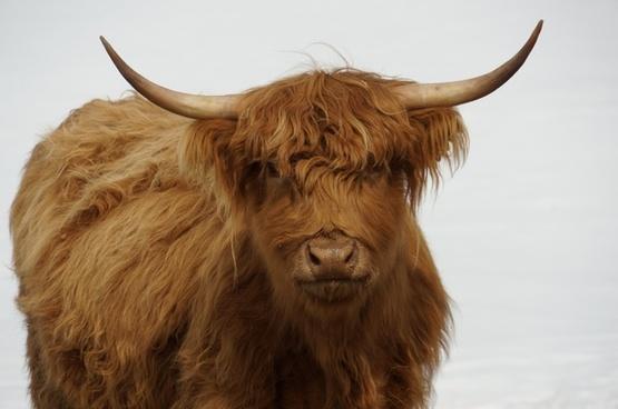 cow bovine rare breed
