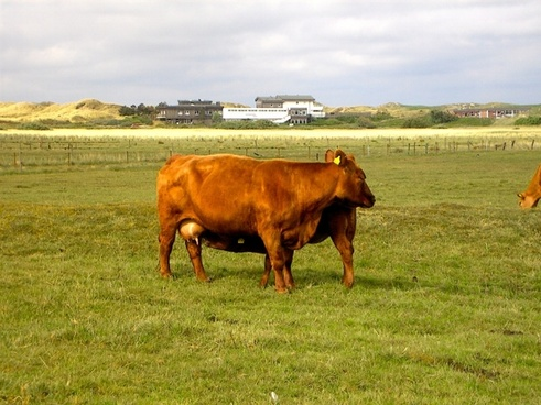 cow cows animal
