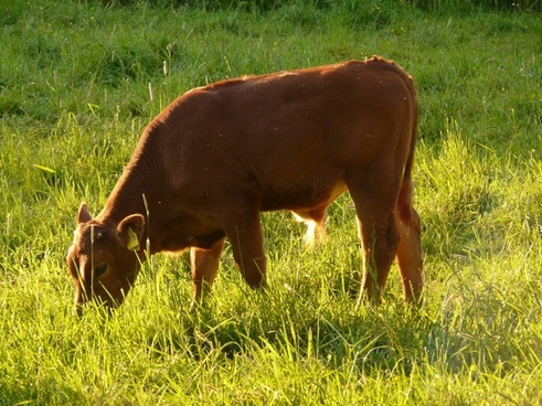 cow domestic cattle beef
