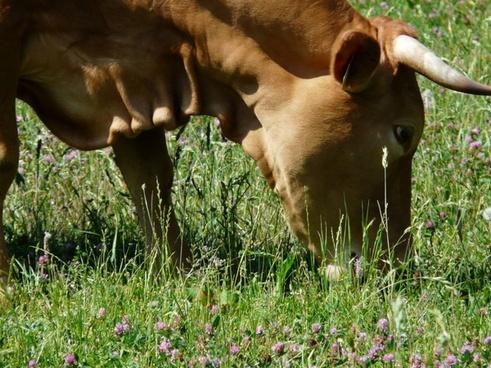 cow graze animal