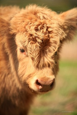 cow looking into camera