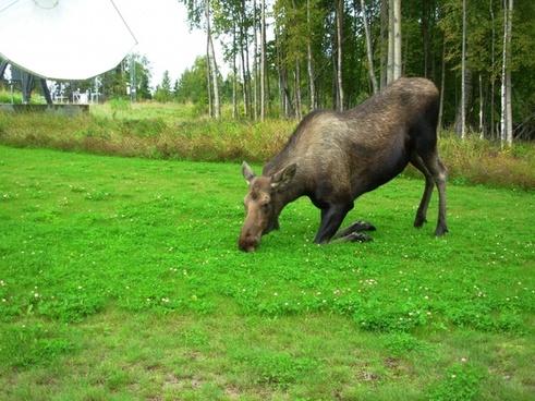 cow moose kneeling landscape