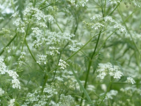 cow parsley flower white