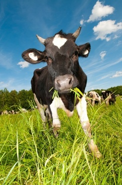 Cows Free Stock Photos Download 292 Free Stock Photos For Commercial Use Format Hd High Resolution Jpg Images