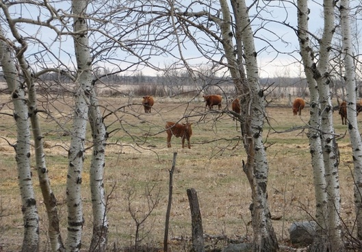 cows calves in the pasture