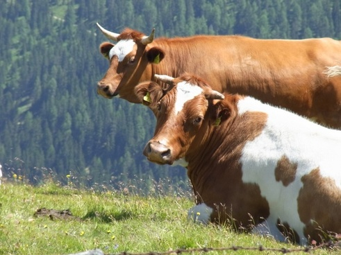 cows two cow