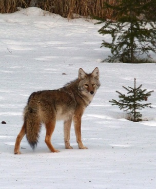 coyote canis latrans animal