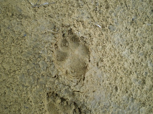 coyote footprint