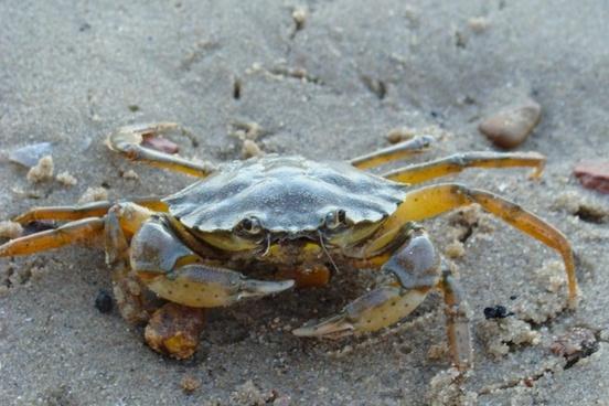 crab beach sand
