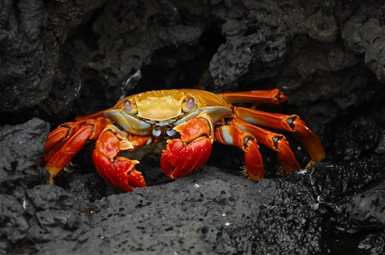 crab red klippenkrabbe grapsus grapsus