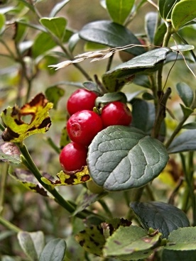 cranberries forest fruits red