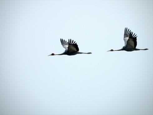crane birds fly