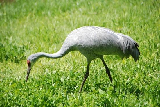 crane sandhill crane waterfowl