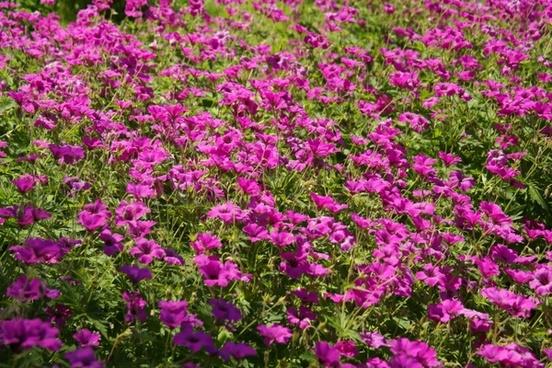 cranesbill flower pink