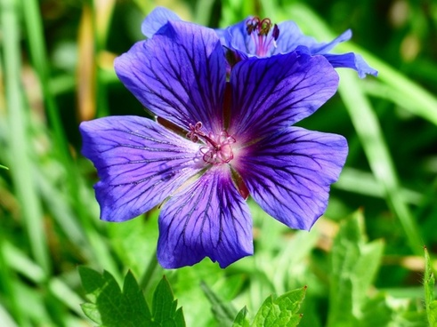 cranesbill flower stamp