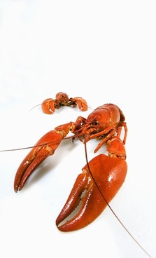 crayfish picture