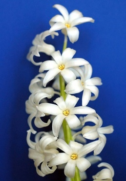 cream white hyacinth