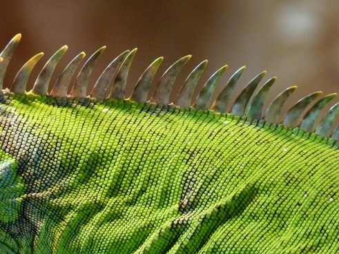 crest green iguana iguana