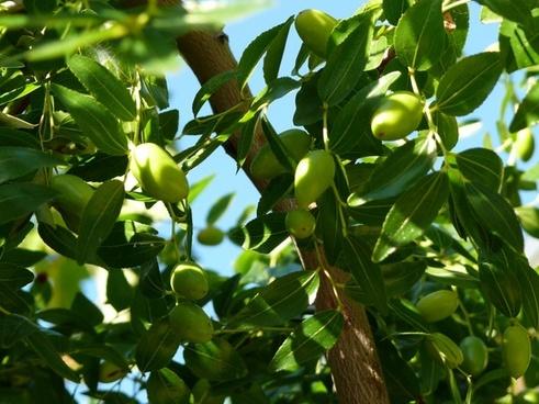 croatia the olives tree