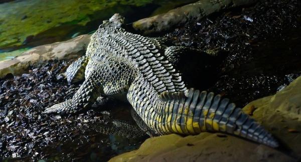 crocodile alligator scale