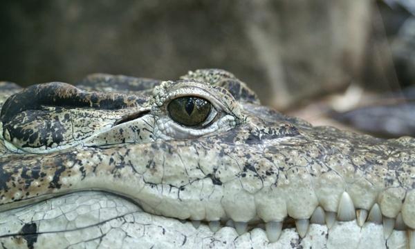 crocodile animal eye