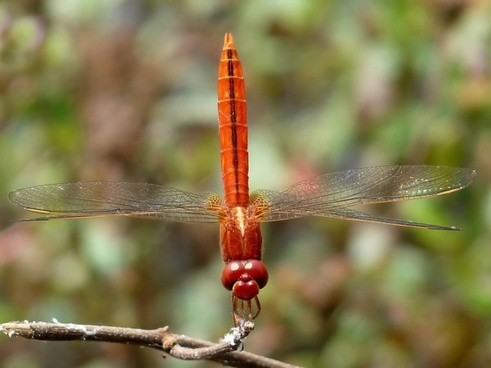 crocothemis servilla dragonfly insect