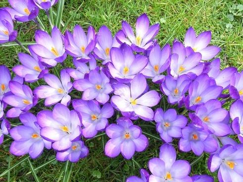 crocus flower violet