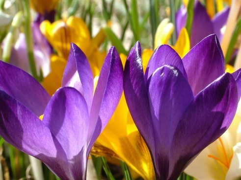 crocus flowers colorful