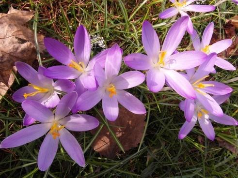 crocus spring purple