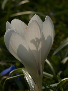 crocus white bloom