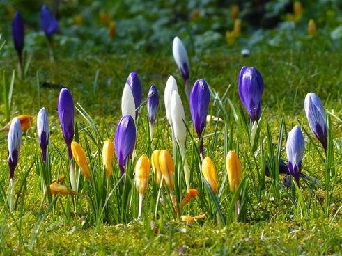 crocus yellow purple