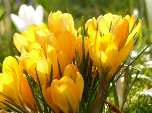 crocus yellow white