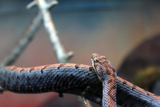 cross banded rattlesnake