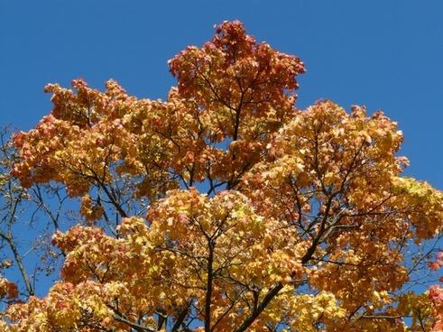 crown autumn coloring