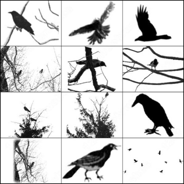crows and ravens brush