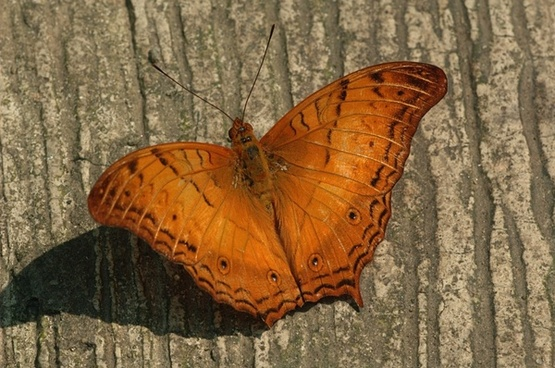 cruiser butterfly insect wings